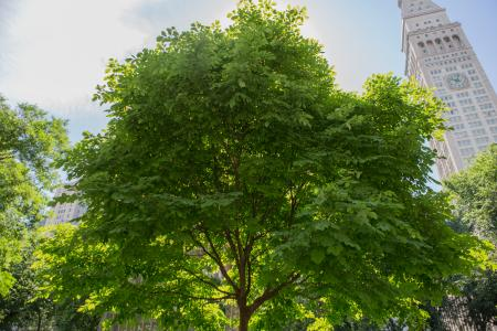 Madison Square Park Conservancy -tree