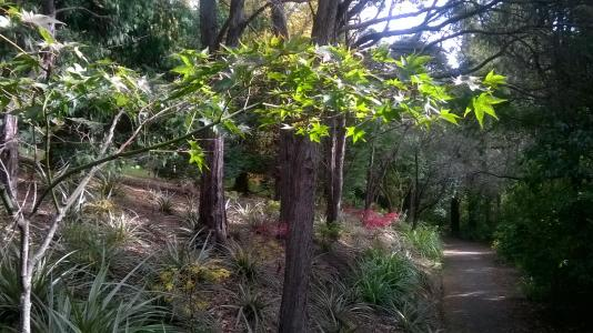 Acers in arboretum with natives