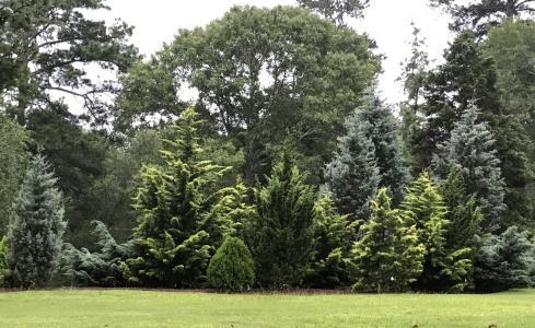 Lockerly Arboretum - Conifers