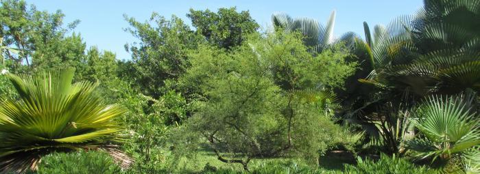 Cuban Palms