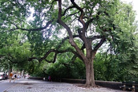 An American elm tree on Central Park West in Manhattan