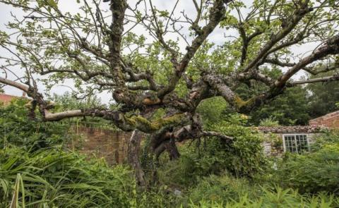 Bramley tree