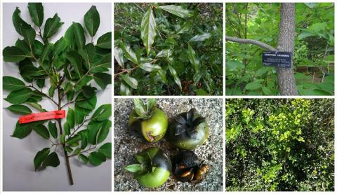 Left: Arboretum i Zakład Fizjografii w Bolestraszycach. Top Middle: Barry Clarke, Hillier Gardens. Top Right: Dominion Arboretum. Bottom Middle: Clavijero Botanical Garden. Bottom Right: Charco del Ingenio, 2015.