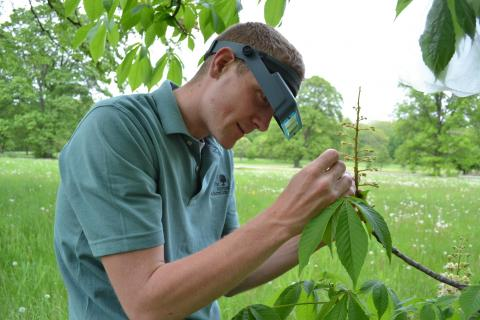 Morton Arboretum Tree Improvement Specialist Joe Rothleutner using a magnification visor to get an up-close view of buckeye flowers. (Morton Arboretum)