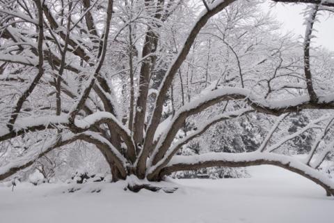 Winter snow on trees at Morris Arboretum