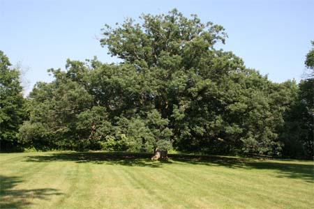 Oaks in North America have more biomass and number of species than any other tree group.