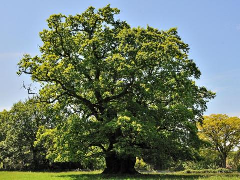 850 year old ancient oak