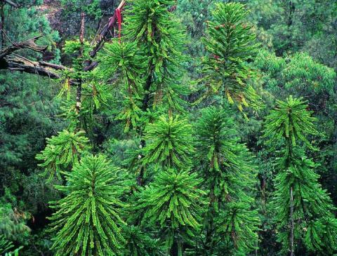 Wollemi pines, courtesy of Jaine Plaza, Royal Botanic Garden, Sydney
