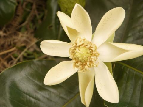 Magnolia yarumalensis, Endangered. This Colombian magnolia is targeted for its timber. Credit: Marcela Serna