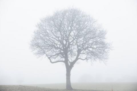 oak foggy