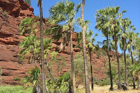 Central Australia palm trees