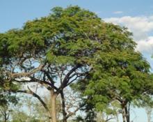 Brazil's rarest trees