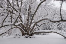 Winter snow on trees at Morris Arboretum