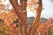 Paperbark maple with fall colors