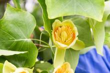 Polly Hill Tulip poplar flower
