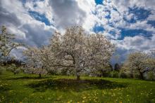White crabapple - The Morton Arboretum
