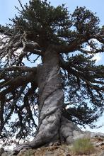 Adonis, a Bosnian pine, has been accurately dated to be a minimum of 1,075 years old. (Photo: Dr. Oliver Konter, Mainz)