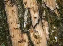 Montgomery county parks officials battle an attack of emerald ash borer beetles that are decimating trees, on January, 12, 2016 in Kensington, MD. Pictured, detail of a ruined tree showing the hole used by the beetle to leave the tree. (Photo by Bill O'Leary/The Washington Post)